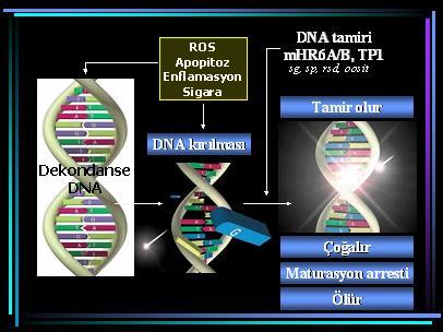 DNA_hasar10