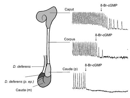 endometazin_2