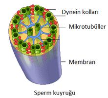 sperm_hareket_bozuklugu_1