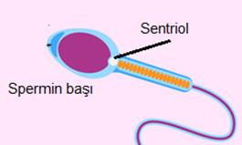 sperm